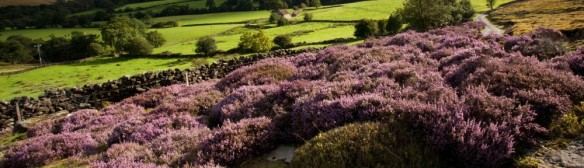 cropped-heather-in-bloom-in-westerdale-north-york-moors-national-park-photo-by-mike-kipling.jpg