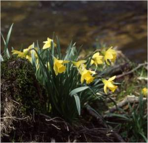 Wild daffodils in Rosedale