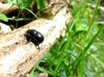 2013-05-17 Polygons 7 & 8 - Lockton - Geotrupes stercorarius Dor beetle