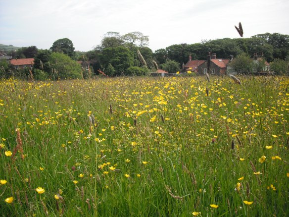 Coastal grassland - Kingston Field, Fylingthorpe