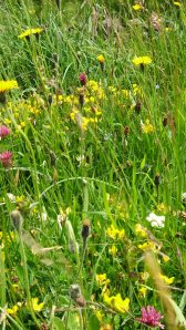 Hay Meadow close up - Rosedale