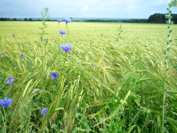 CFF - Cornflowers along the field edge