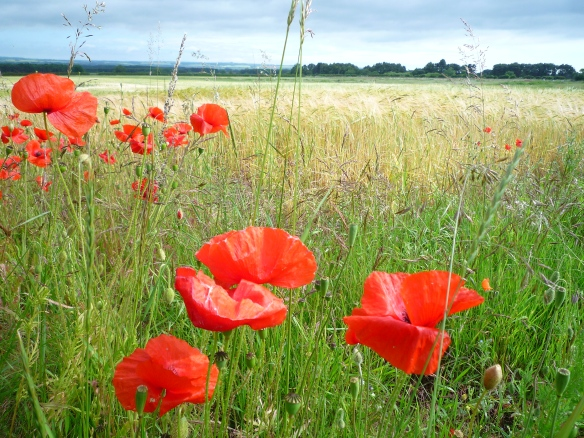 CFF - Poppies along the field edge