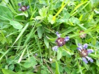 Ground flora including Self heal
