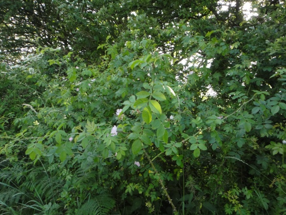 Briar rose in an old hedgerow. Copyright NYMNPA.