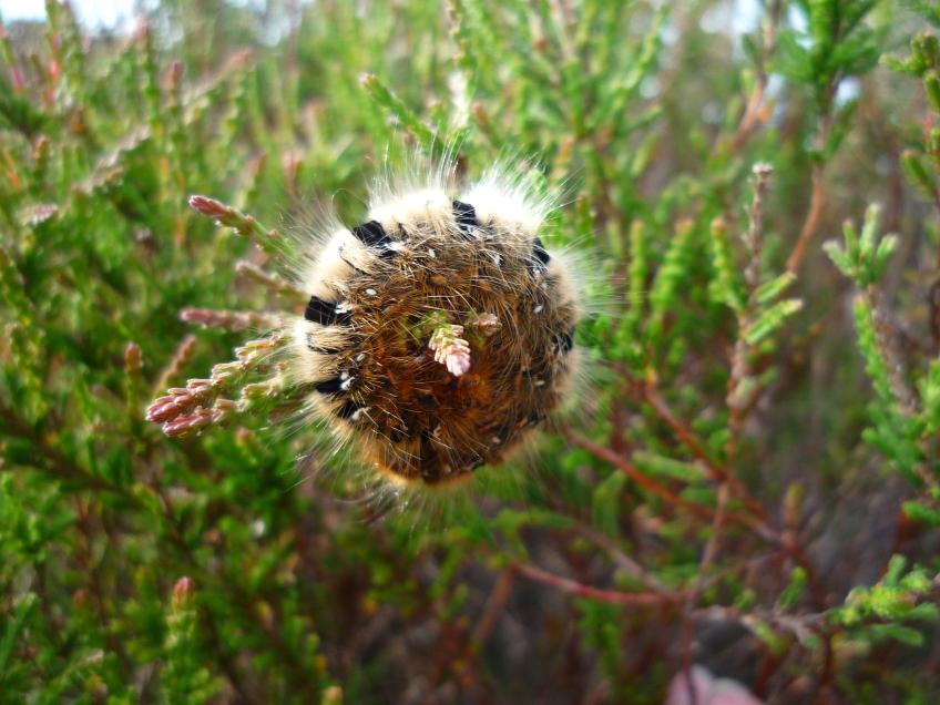 Northern Eggar moth caterpillar. Copyright NYMNPA.