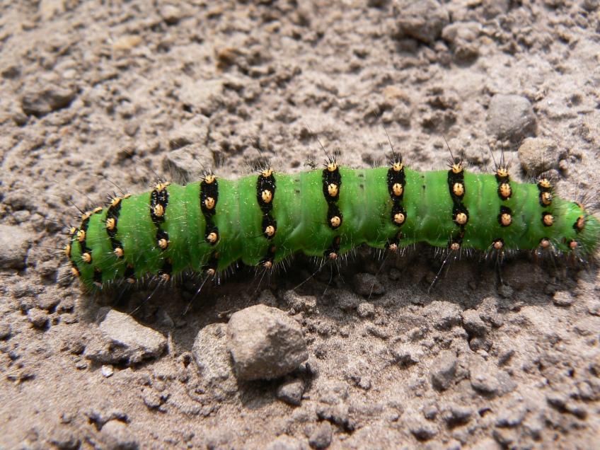 Emperor moth caterpillar at Levisham Estate. Copyright NYMNPA.
