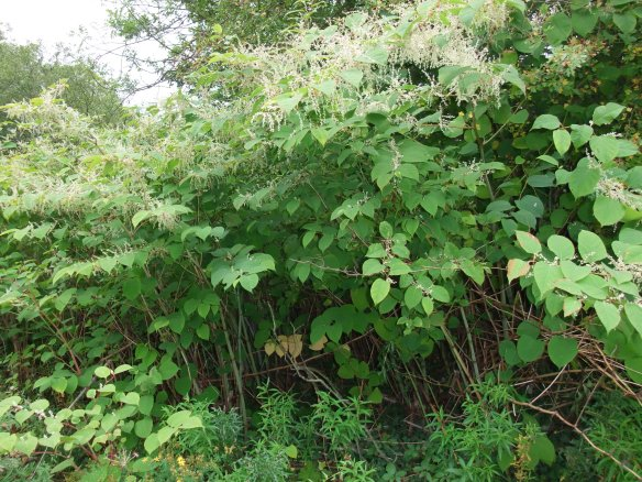 Japanese knotweed grows to around three metres tall and has large alternate heart shaped leaves and a characteristic zigzag stem covered in purple speckles. Its flowers, which appear in late summer, consist of clusters of tiny creamy-white flowers. Copyright - NYMNPA.