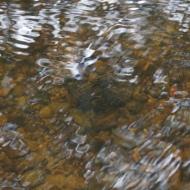 Freshwater pearl mussel in good habitat (clean gravel) - River Esk.