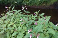 Himalayan balsam (Impatiens glandulifera) growing on the bank of the River Esk - when this non native invasive plant dies back in winter there is no native vegetation to stabalise the bank - so we're trying to eradicate it along watercourse banks.