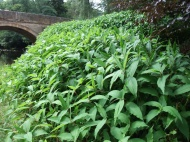 Himalayan knotweed (Persicaria wallichii) growing on banks of River Esk - when this non native invasive plant dies back in winter there is no native vegetation to stabilise the bank - so we're trying to eradicate it along the river.
