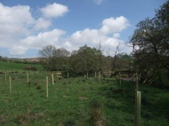 River Esk near Castleton - tree planting - alder (Alnus glutinosa), oak (Quercus sp.), and hazel (Corylus avellana) - to help stabilise the bank.