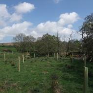 River Esk near Castleton - tree planting - alder (Alnus glutinosa), oak (Quercus sp.), and hazel (Corylus avellana) - to help stabilise the bank.