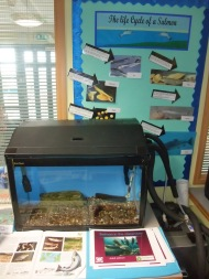 Salmon in the Classroom project has been going for 5 years - each year a different primary school in the Esk Valley gets to raise Salmon from eggs and then release the fry into the River nearby.