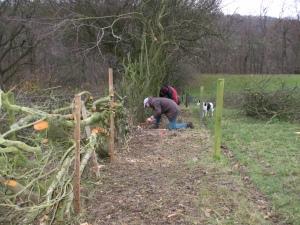 Hedge laying - Levisham Estate hedge laying workshop November 2009