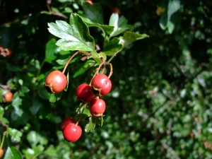 hedgerow 2
