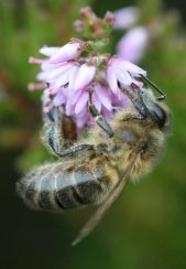 Honey Bee Project - photo by Tammy Andrews