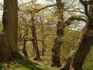 Upland oak woodland. Copyright NYMNPA.