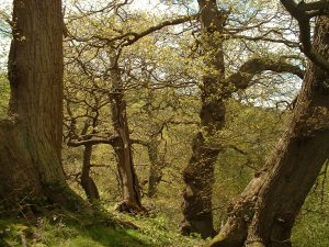 Upland oak woodland. Copyright NYMNPA.
