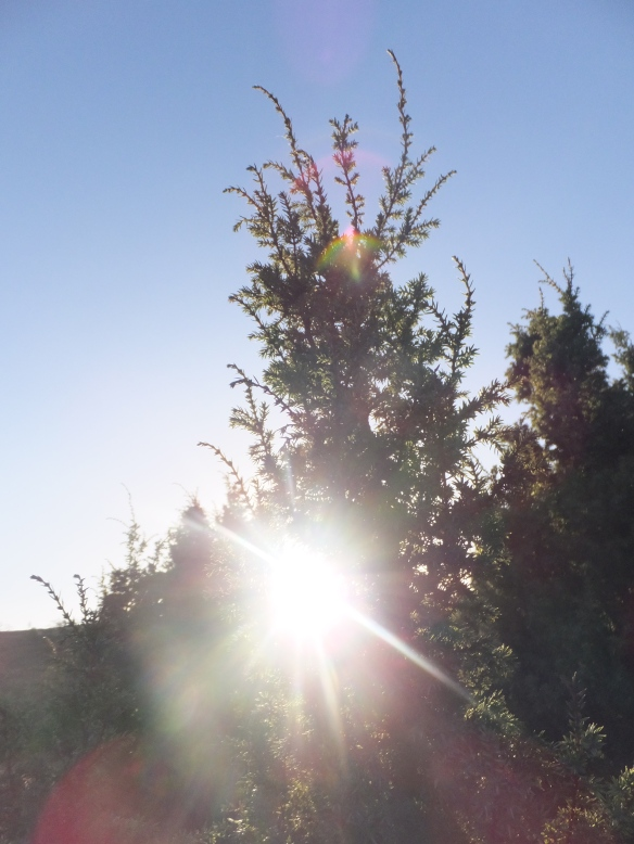 Mature juniper 2