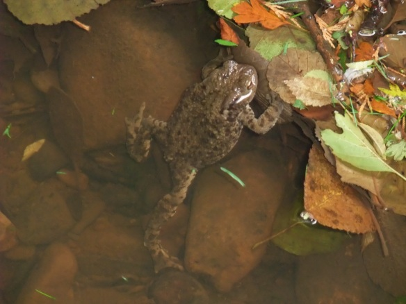 Common Toad - River Esk