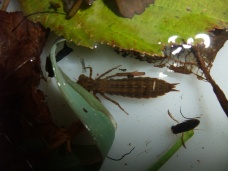 Photos from 2013/14 - Hawker dragon fly larvae