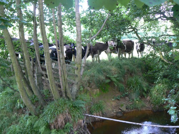 Cattle - Esk Valley