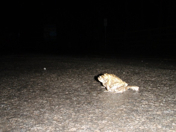 About to set off across the road (female toad with male on its back)