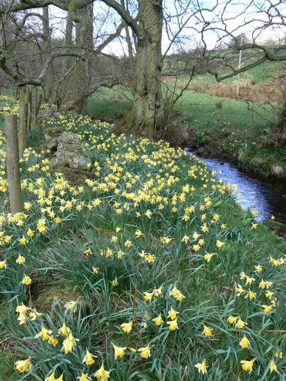 Wild daffodils on Northdale Beck