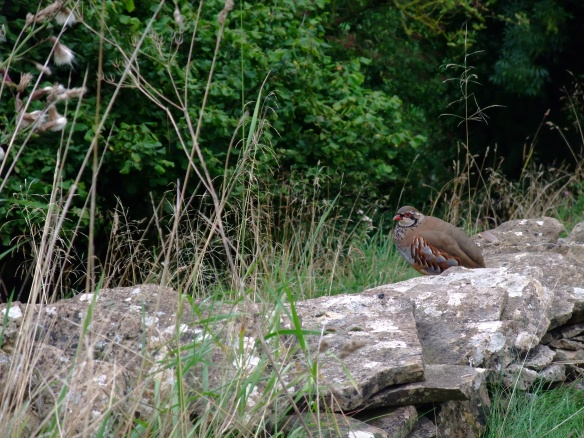 2013-09 Red Legged Partridge on ds wall - Old Byland