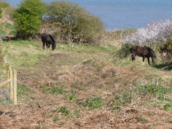 Exmoor ponies grazing the coastal slope - NYMNPA