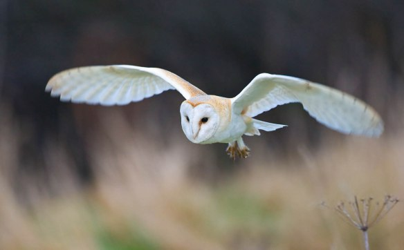 Barn Owl - copyright Mike Nicholas