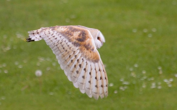 Barn owl in flight_Wildstock images