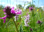2014-06-30 Sutton Bank - Betony and Common Spotted Orchid - by Kirsty Brown