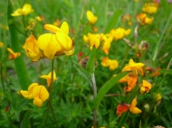 2014-06-30 Sutton Bank - Bird's Foot Trefoil - by Kirsty Brown