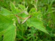 2014-06-30 Sutton Bank - Crane flies - by Kirsty Brown