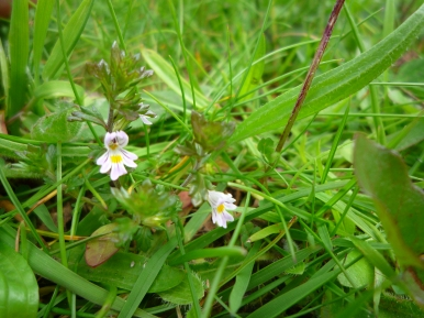2014-06-30 Sutton Bank - Eyebright - by Kirsty Brown