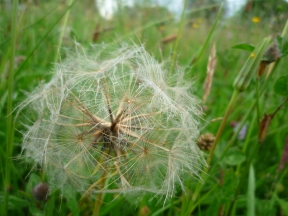2014-06-30 Sutton Bank - Goat's-Beard - by Kirsty Brown