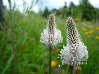 2014-06-30 Sutton Bank - Hoary Plantain - by Kirsty Brown
