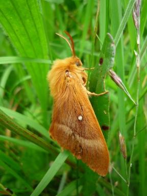 2014-06-30 Sutton Bank - Oak-Northern Eggar moth - by Kirsty Brown