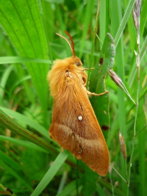 2014-06-30 Sutton Bank - Oak-Northern Eggar moth - by Kirsty Brown
