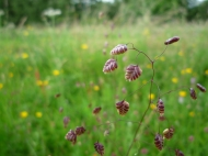 2014-06-30 Sutton Bank - Quaking Grass - by Kirsty Brown