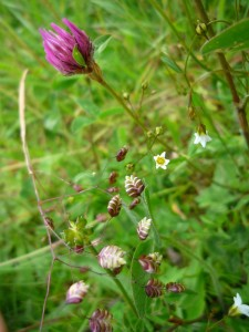 2014-06-30 Species Rich Grassland at Sutton Bank - Red Clover, Quaking Grass, Fairy Flax - by Kirsty Brown, NYMNPA