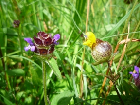 2014-06-30 Sutton Bank - Self-Heal and Yellow Rattle - by Kirsty Brown