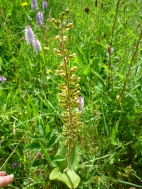 2014-06-30 Sutton Bank - Twayblade - by Kirsty Brown