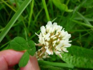 2014-06-30 Sutton Bank - White Clover - by Kirsty Brown