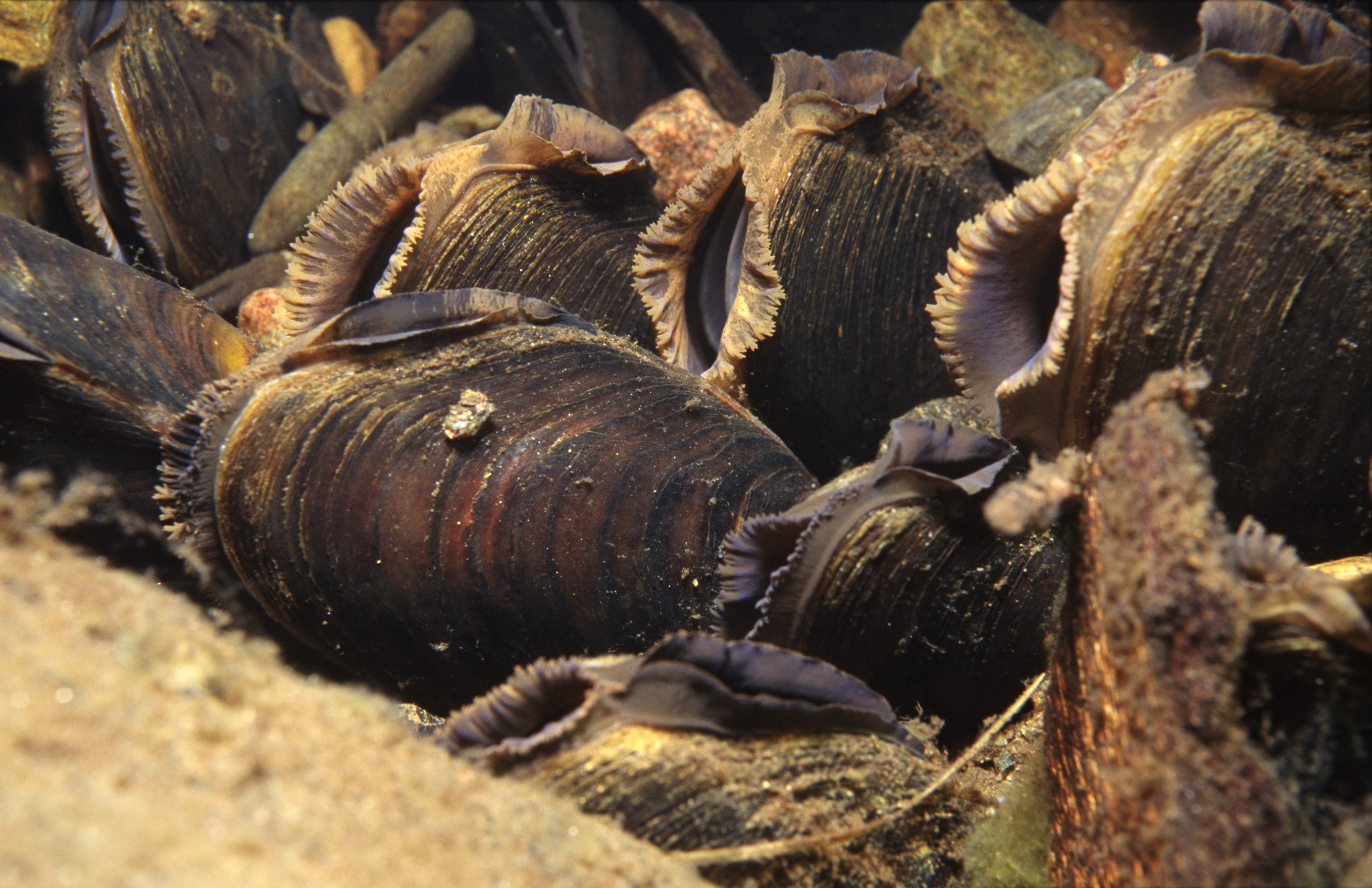 how to cook freshwater mussels