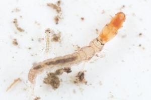 Jon Sullivan, Midge larvae - from Flickr.com