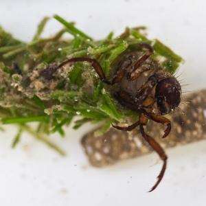 Jon Beresford, Caddis Fly Larvae - from Flickr.com