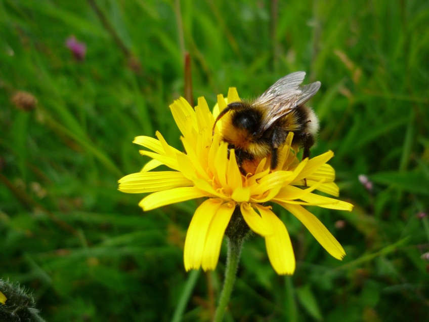Bumblebee - copyright NYMNPA